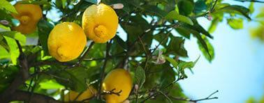 limoni di montale