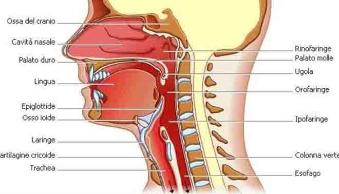 come funziona l'apparato respiratorio