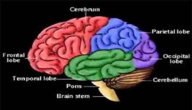 struttura dell'encefalo