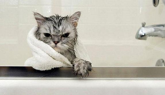 Il gatto non è un animale domestico: ecco perché