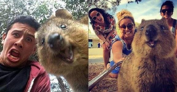 Quokka, l'animale più felice del mondo è lui!