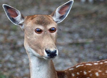 Come sarebbero gli animali se avessero gli occhi davanti